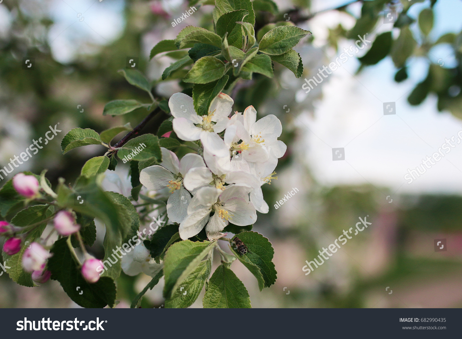 Early Spring The Flowering Apple Tree With Bright White Flowers Ez