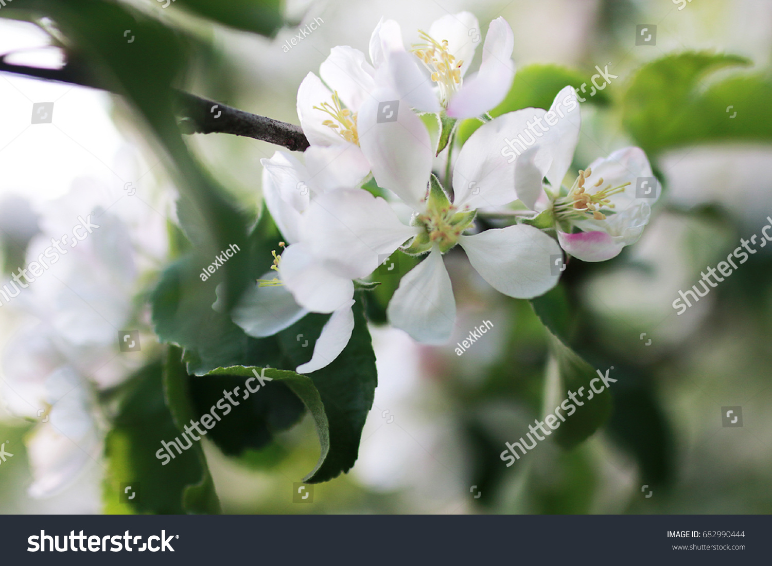 Flowering Apple Tree With Bright White Flowers In Early Spring Ez