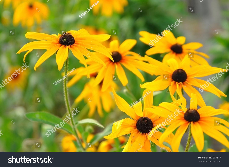 Summer Yellow Flowers Bunch Yellow Daisy Stock Photo Edit Now