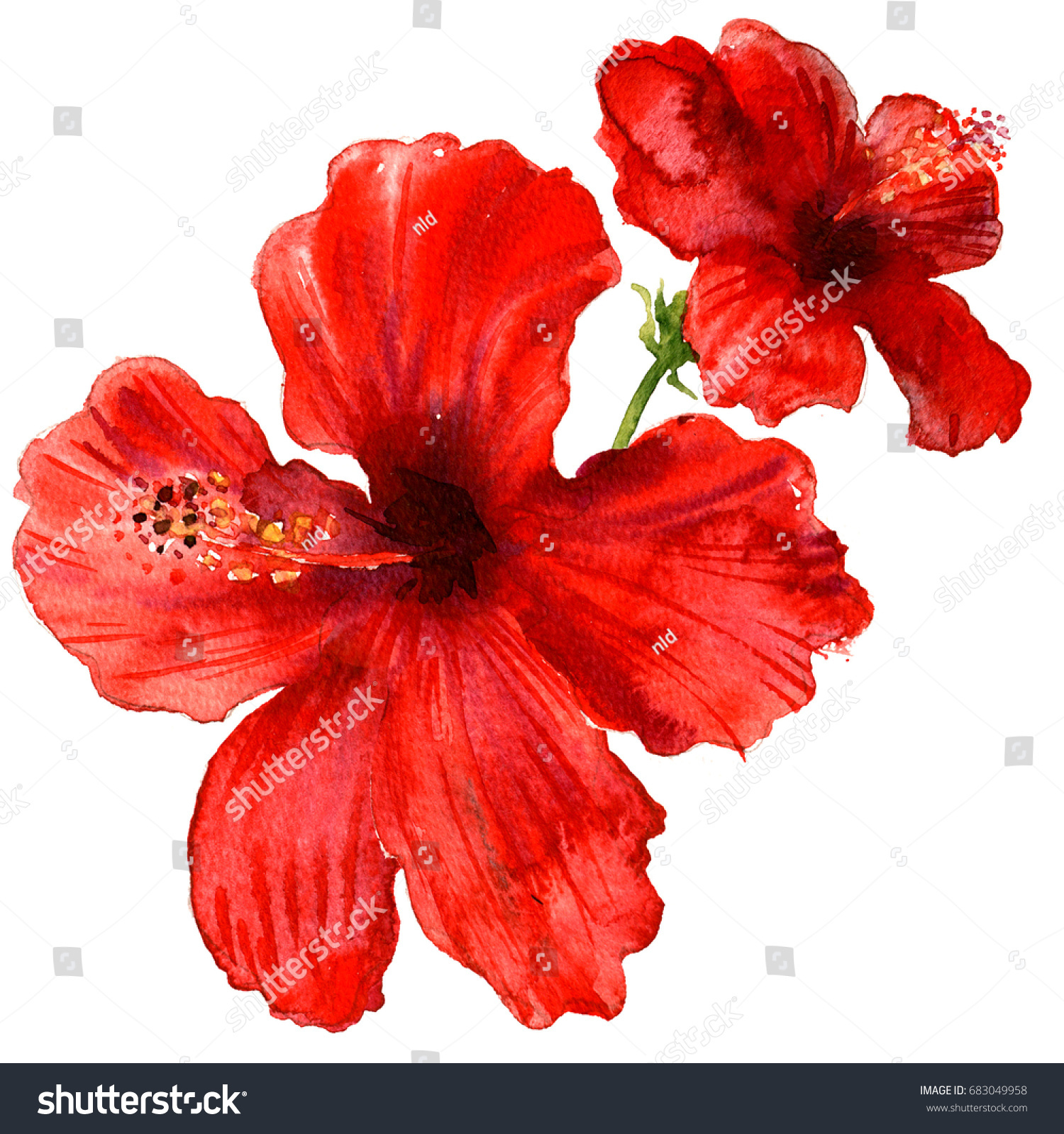 Red hibiscus flower tropical plants isolated stock illustration red hibiscus flower tropical plants isolated watercolor illustration on white izmirmasajfo