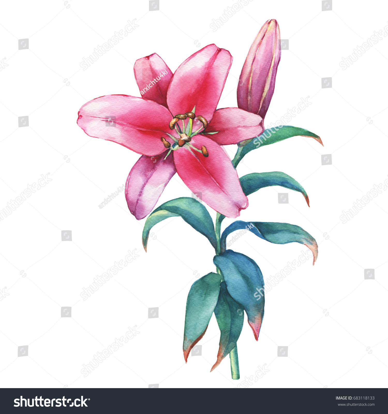 Branch closeup pink lilies flower watercolor stock illustration a branch close up of a pink lilies flower watercolor hand drawn painting illustration izmirmasajfo