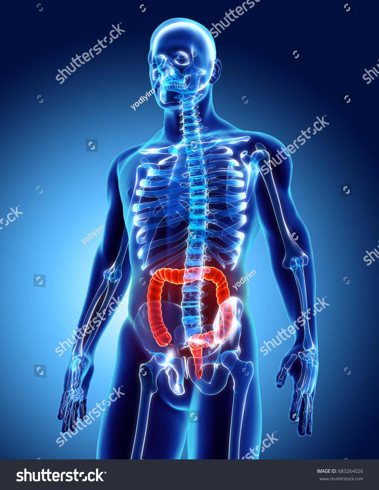 3d Illustration Of Large Intestine Part Of Digestive System Ez