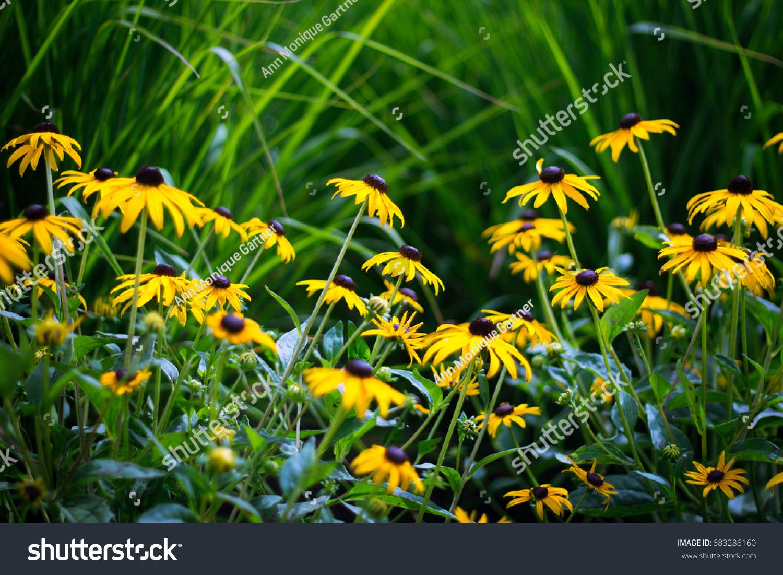 Garden Bright Yellow Flowers Tall Green Stock Photo Edit Now