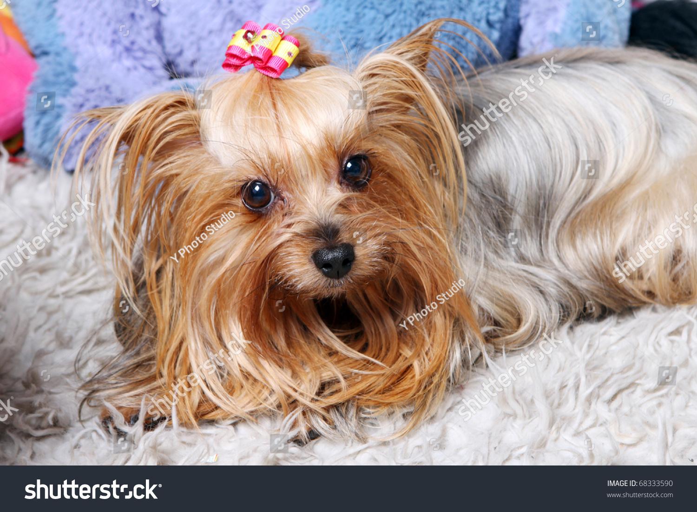 Beautiful And Cute York Terrier Dog: Beautiful And Cute York Terrier Dog At Home Stock Photo