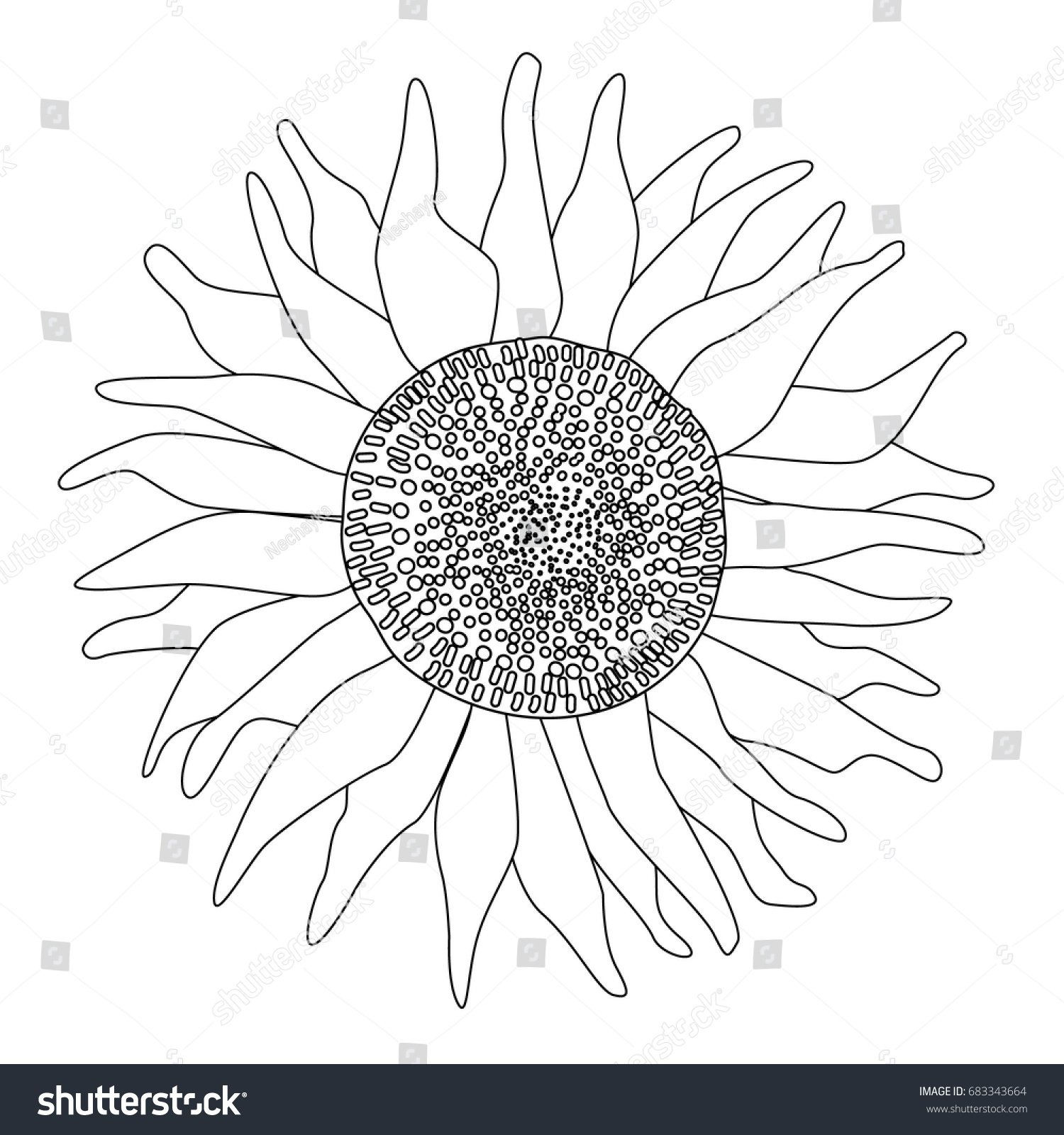 black white line drawing isolated sunflower stock vector 683343664