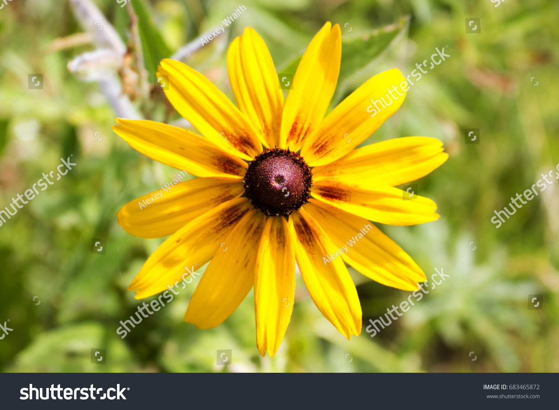 Flower Rudbeckia Brown Center Contrasting Petals Stock Photo Edit