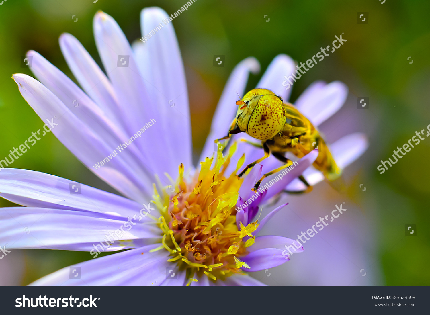 Close Up Of Bumble Bee Collecting Nectar On A Daisy Flower Showing
