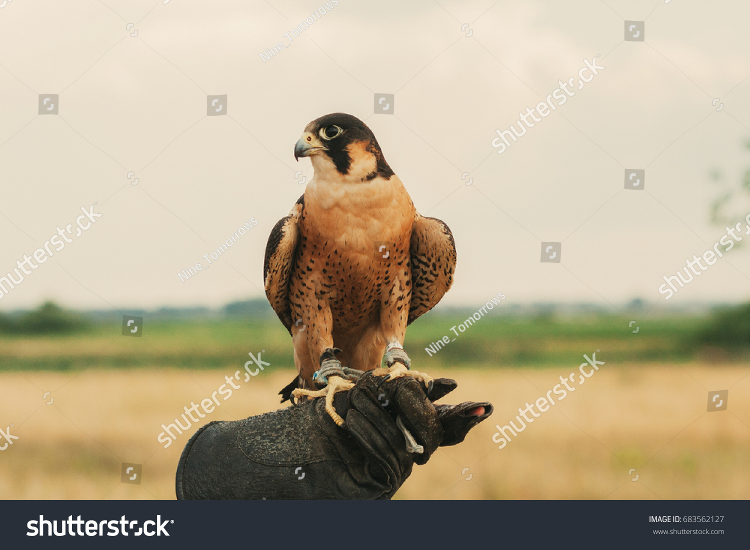 Peregrine Falcon On Trainers Hand Stock