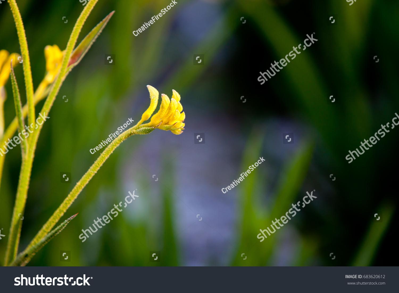 Australian Kangaroo Paw Haemodoraceae Anigozanthos Bush Stock Photo