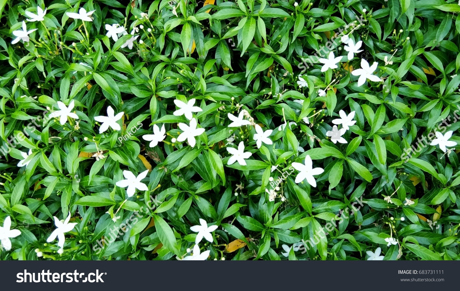 Jasmine Flowers White Flowers Small Green Stock Photo Edit Now