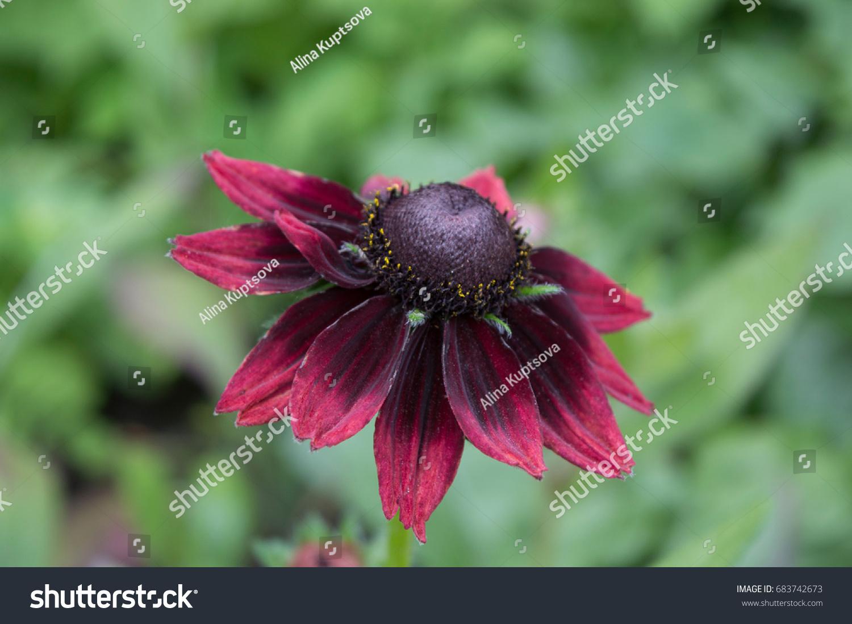Burgundy Blackeyed Susan Flowers Rudbeckia Hirta Stock Photo Edit