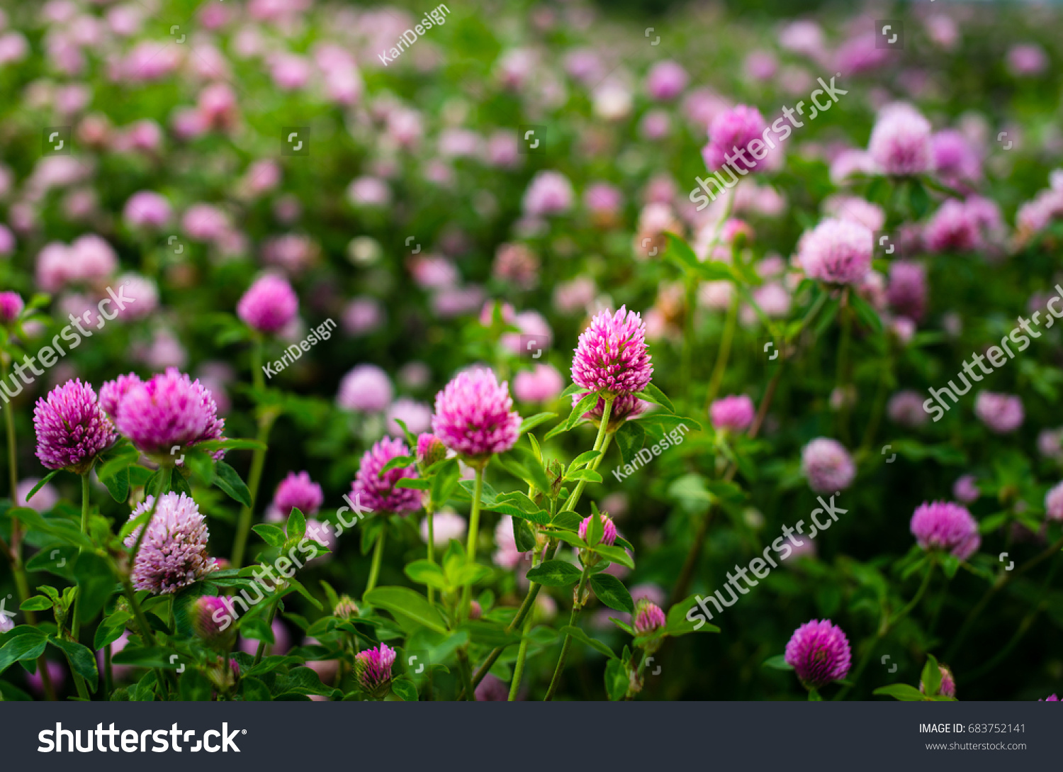 Purple Clover Flowers Trifolium Pratense Outside Stock Photo Edit