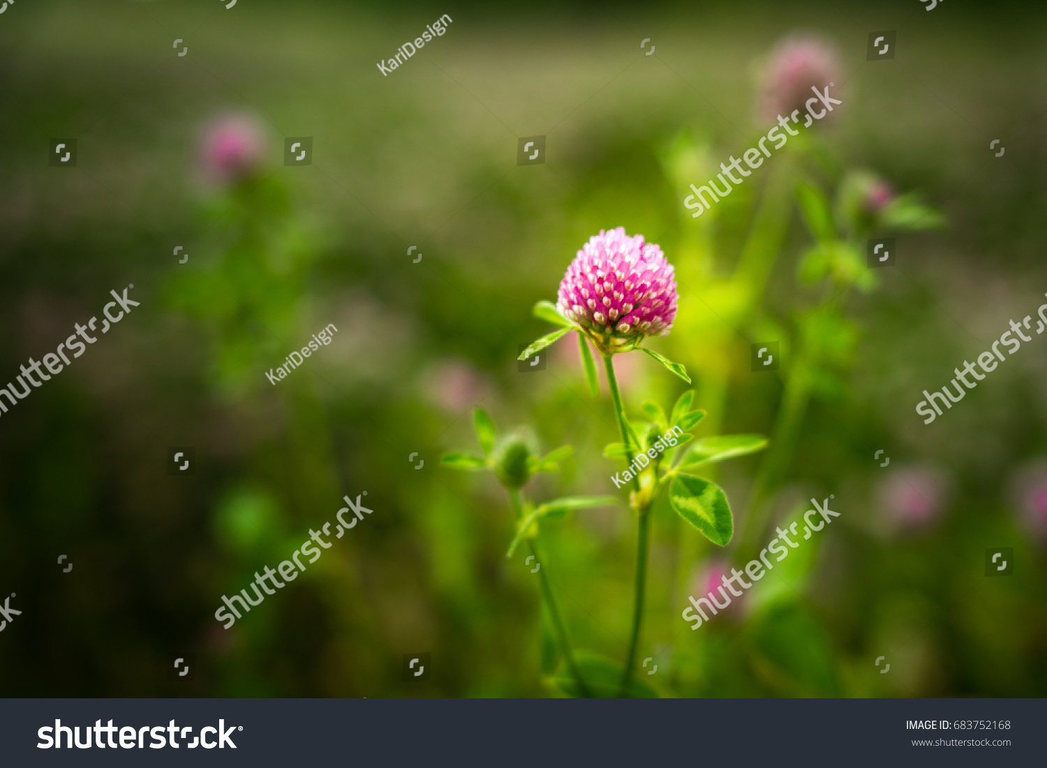 Purple Clover Flowers Trifolium Pratense Outside In A Field Ez