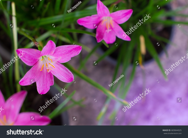 Pinkpurple zephyranthes flowerrainflower zephyr lily magic stock pink purple zephyranthes flowerrainflower zephyr lily magic lily atamasco lily izmirmasajfo