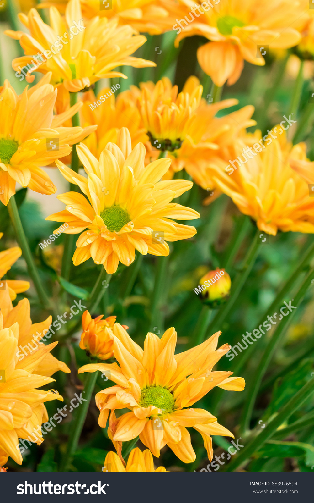 Beautiful Yellow Flowers Background In Spring Season Ez Canvas