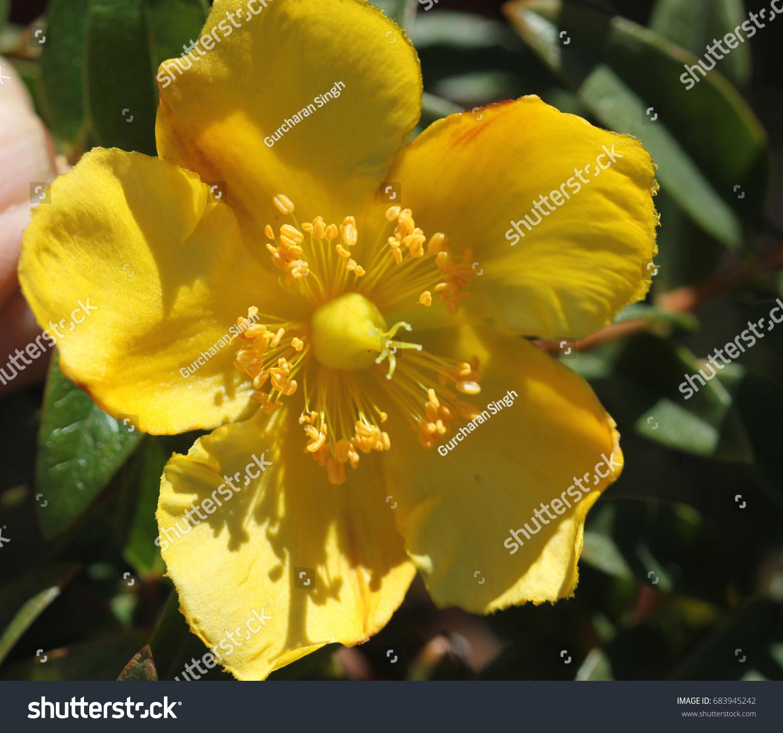 A Macro Shot Of A Yellow Flower From A Hypericum Bush Ez Canvas