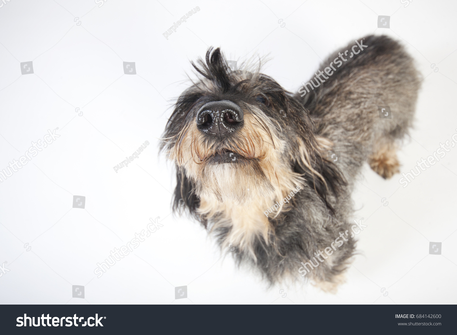 Small Wirehaired Dachshund Isolated Against White Stock Photo ...