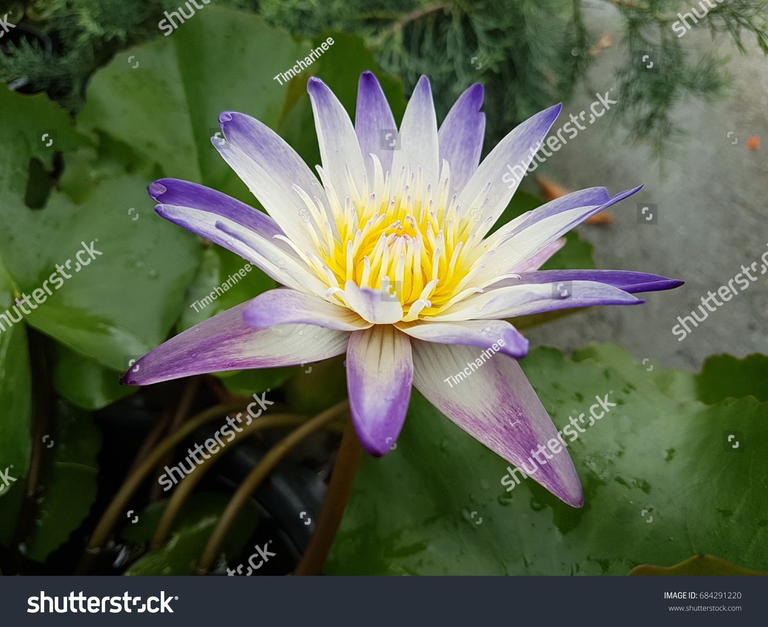 White and purple lily pad flower ez canvas izmirmasajfo