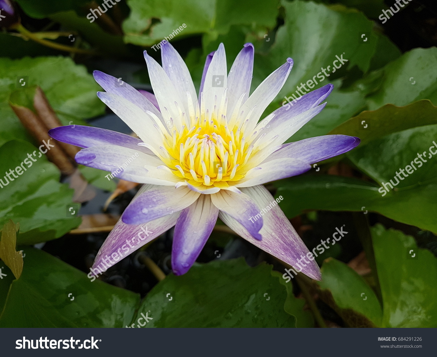 White and purple lily pad flower ez canvas id 684291226 izmirmasajfo