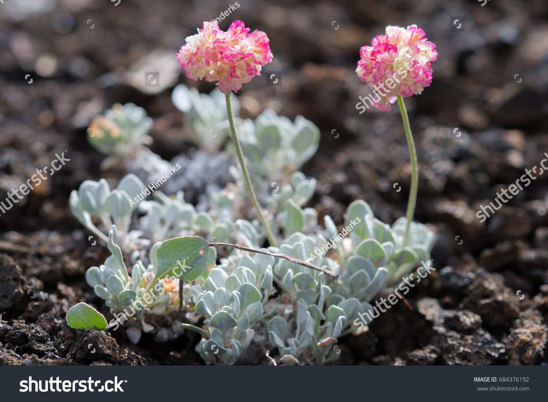 Closeup Pink Cushion Buckwheat Eriogonum Ovalifolium Stock Photo