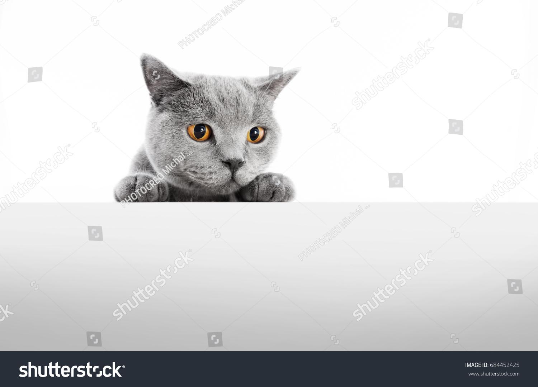 British Shorthair Cat Isolated White Stock