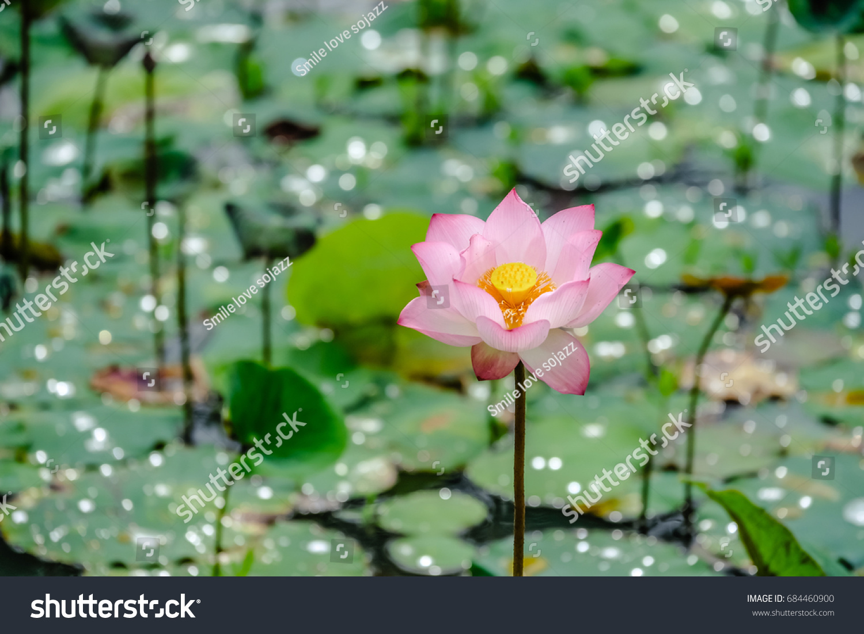 Beautiful Pink Waterlily Lotus Flower Water Stock Photo Edit Now