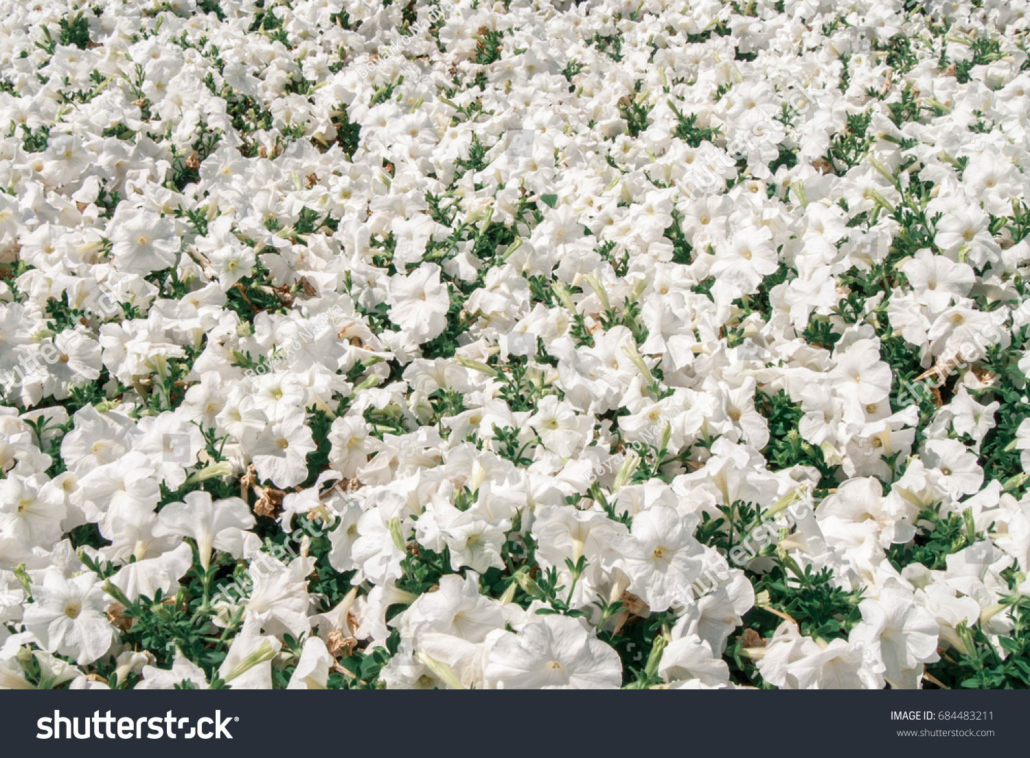 Delicate White Flowers Stock Photo Edit Now 684483211 Shutterstock