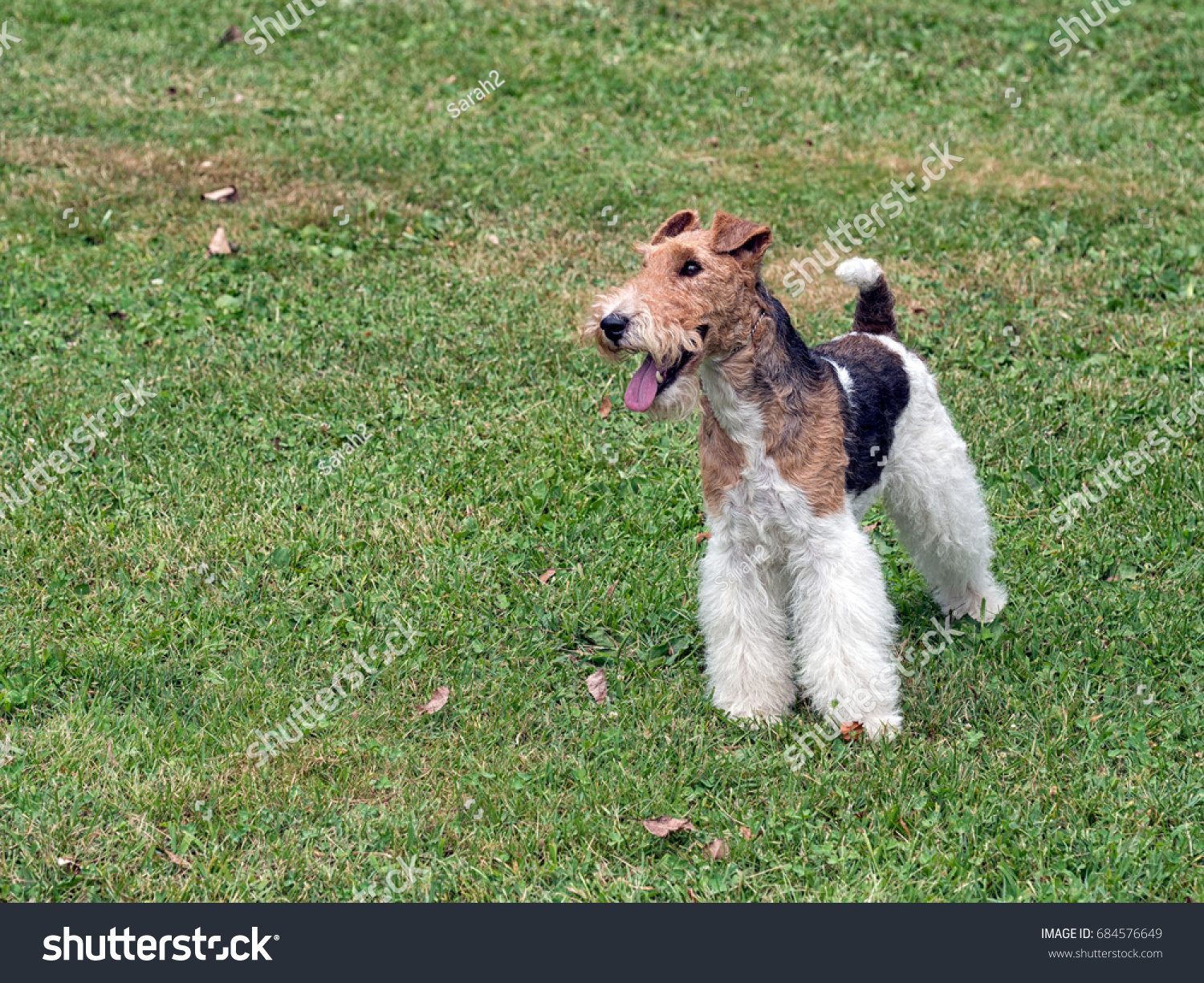 Wire Hair Fox Terrier Outside Standing Stock Photo (Edit Now ...