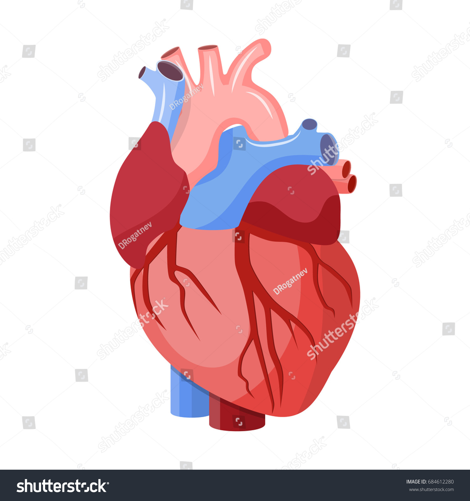 Anatomical Heart Isolated Muscular Organ Humans Stock Illustration