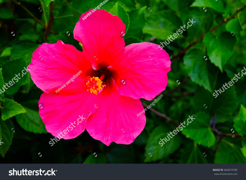 Hibiscus national flower malaysia stock photo royalty free hibiscus the national flower of malaysia izmirmasajfo