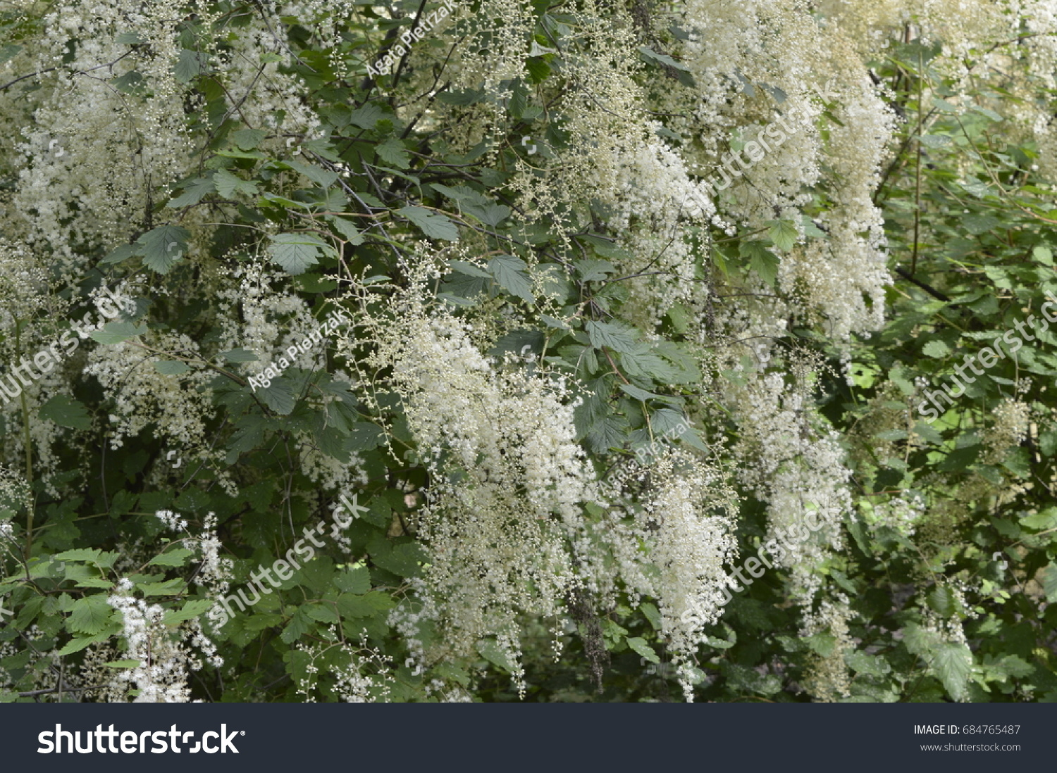 Tamarix Tree Tiny White Flowers Inflorescence Stock Photo Edit Now