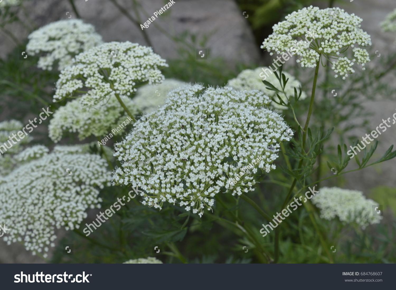 Aethusa cynapium poisonous plant white flowers stock photo edit now aethusa cynapium poisonous plant with white flowers mightylinksfo