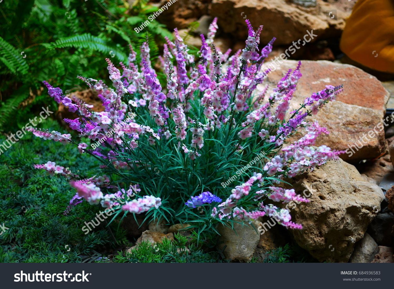 Bush purple white flowers garden stock photo edit now 684936583 bush with purple and white flowers in a garden mightylinksfo