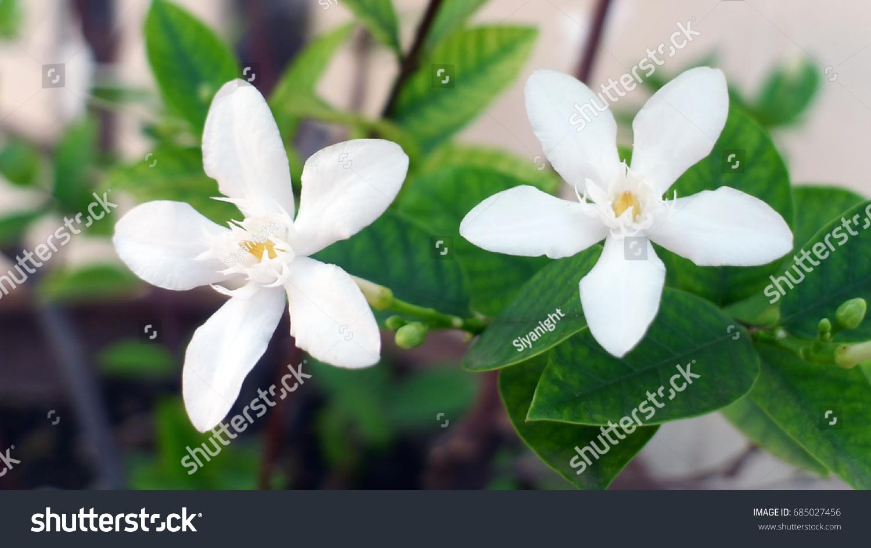 Cape jasminegarden gardenia gardenia jasminoides jellis on plant id 685027456 izmirmasajfo