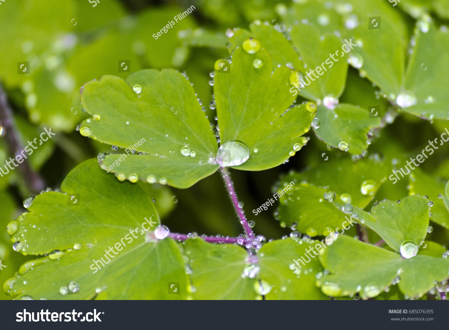 Drops Water On Leaves Flowers Aquilegia Stock Photo Edit Now