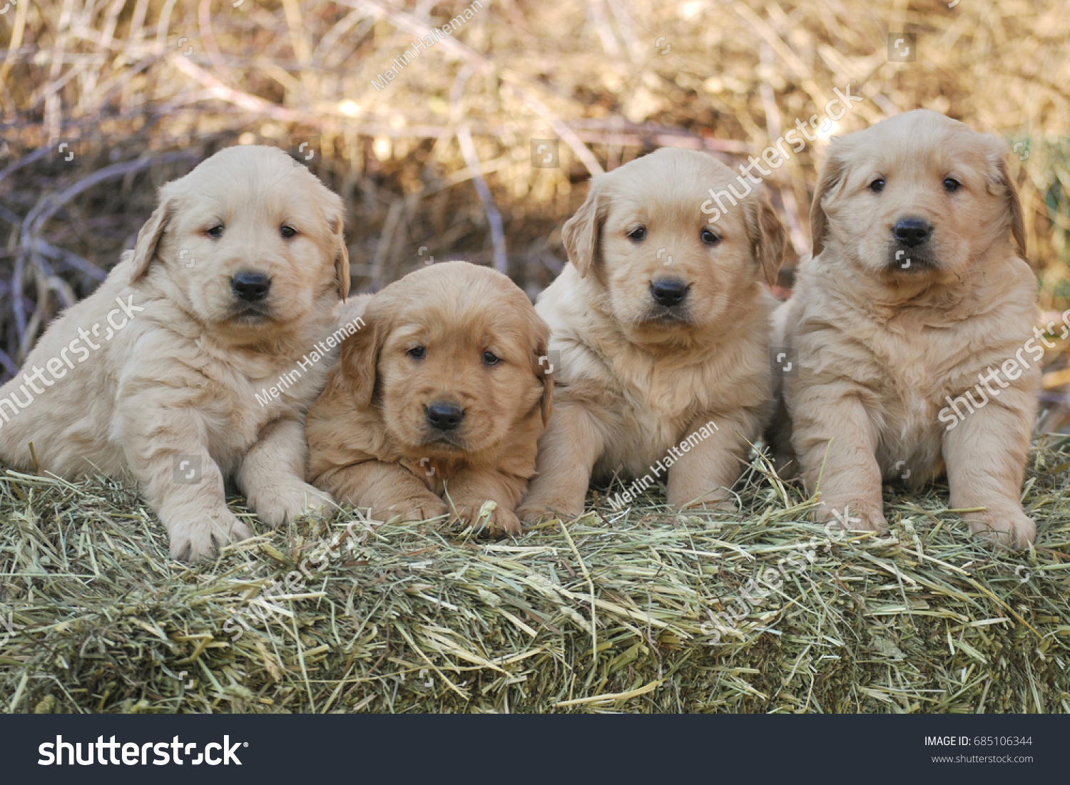 Litter Golden Retriever Puppies Sitting On Stock Photo Edit Now 685106344
