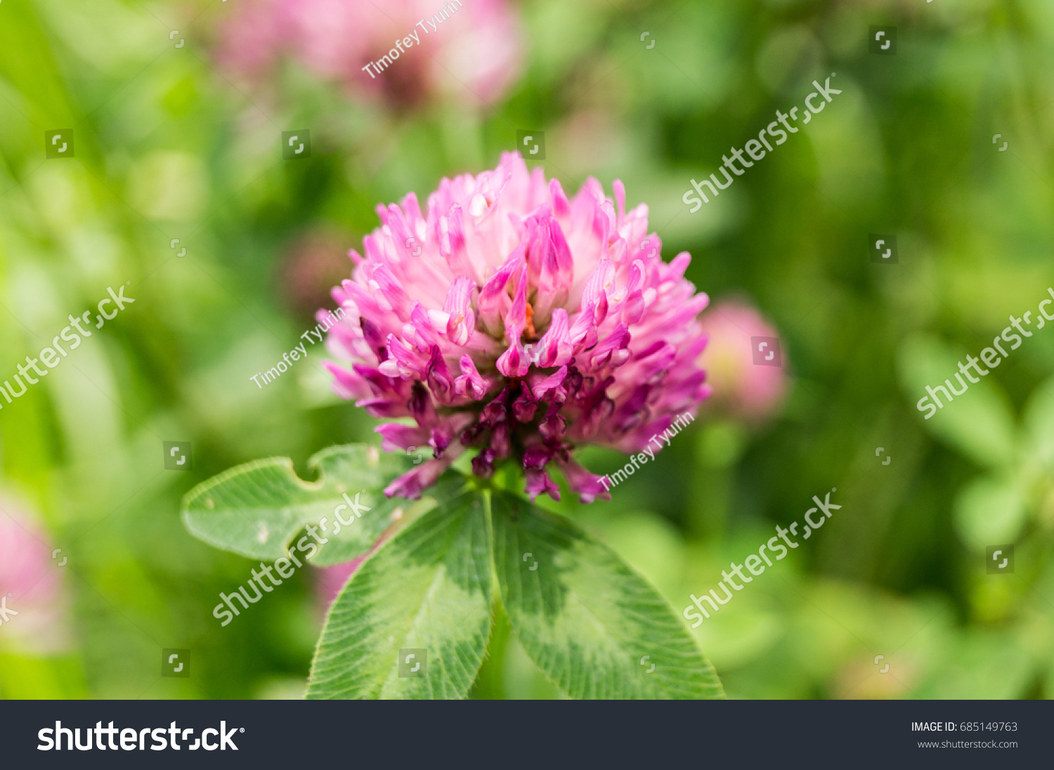 Pink Clover Flower Summer Garden Nature Stock Photo Royalty Free