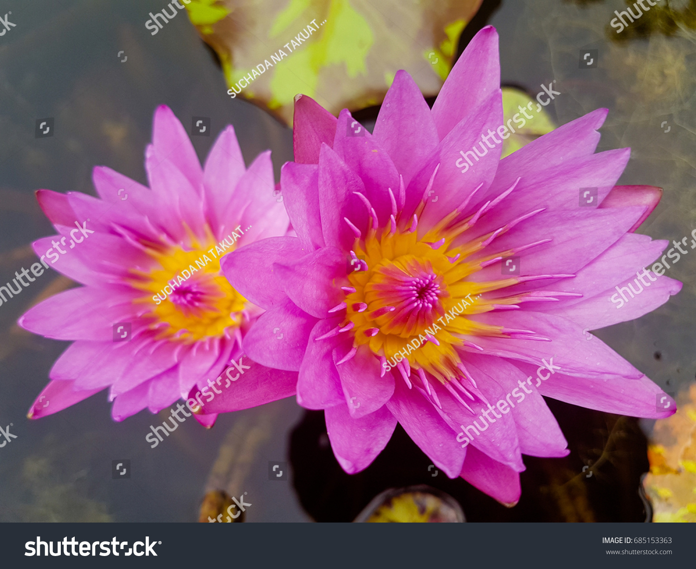 Beautiful Lotus Flower Colors Thailand Lotus Stock Photo Royalty