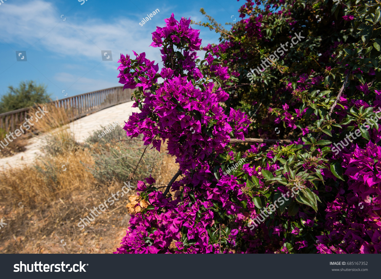 Purple pink mediterranean plant cyprus stock photo edit now purple pink mediterranean plant in cyprus mightylinksfo