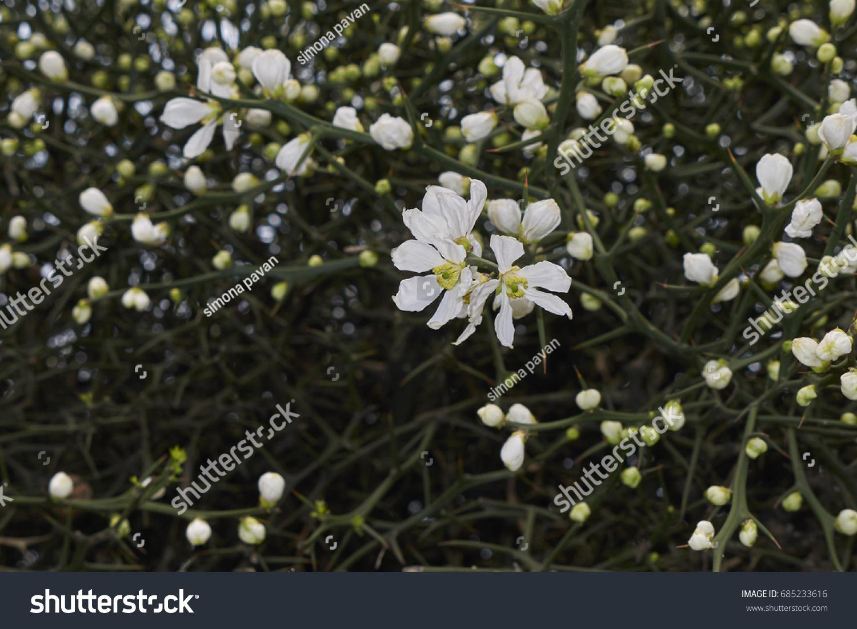 Thorny Shrub White Flowers Stock Photo Edit Now 685233616