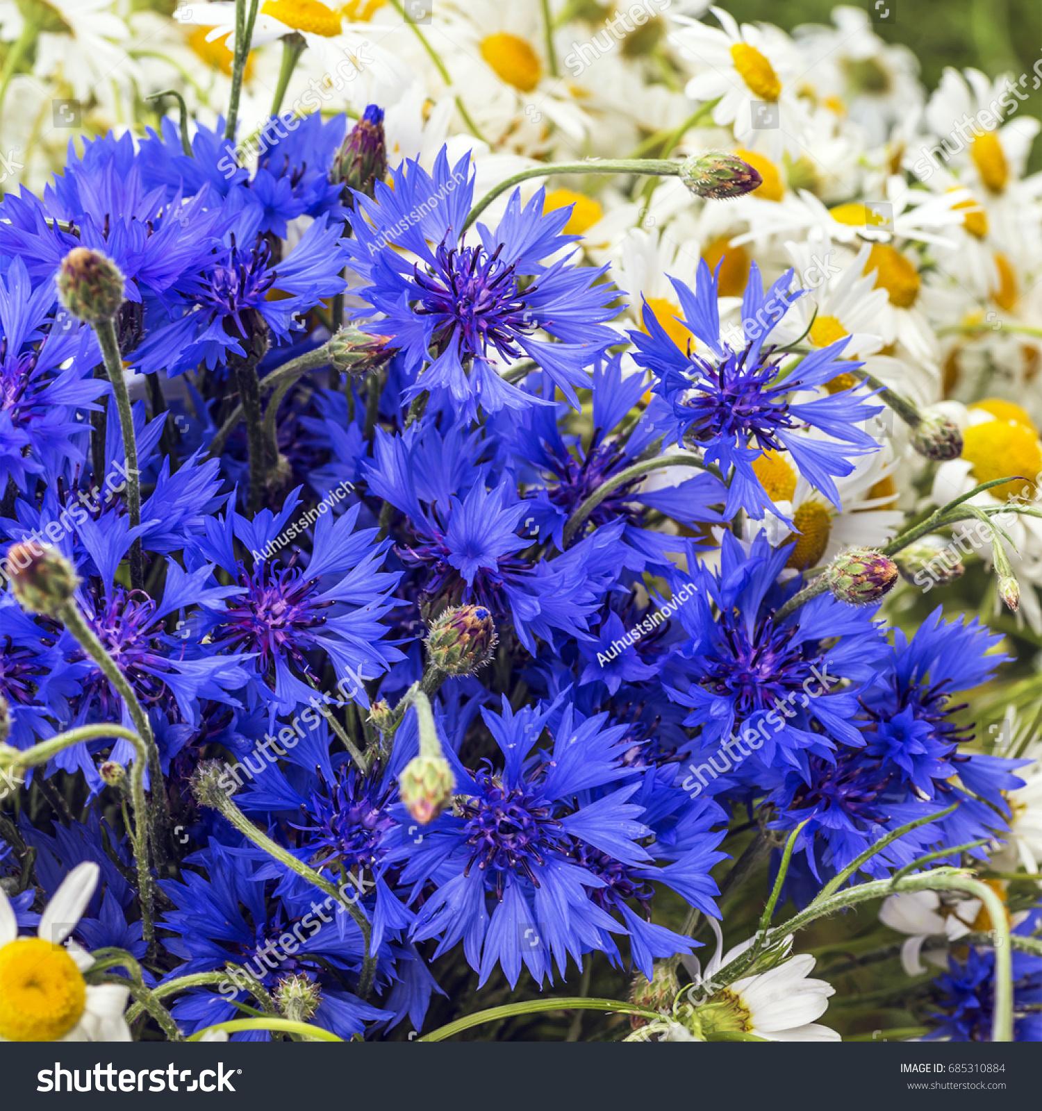 Beautiful Summer Flowers Cornflower Chamomile Stock Photo Edit Now