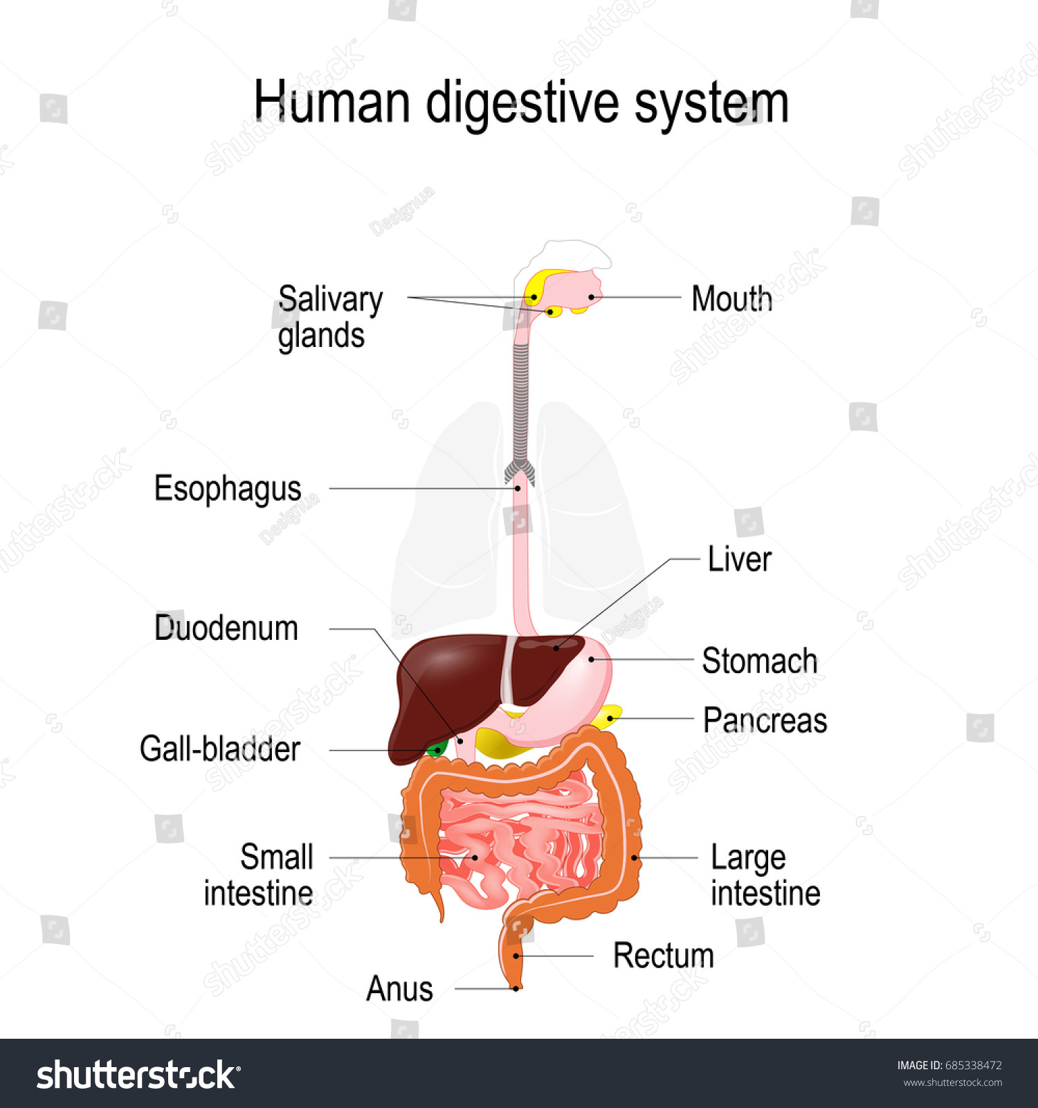 Human Digestive System Location Gastrointestinal Tract Stock ...
