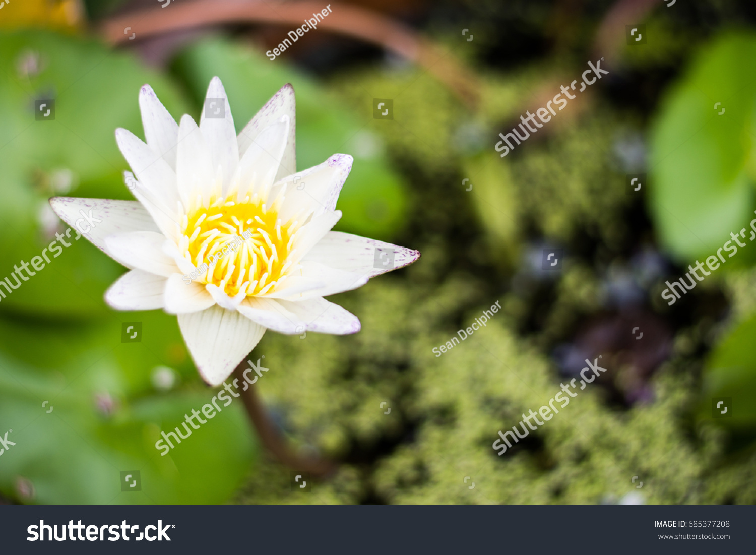 The meaning of a white lotus flower beautiful flower 2017 the meaning of lotus flower and why i chose it as my logo izmirmasajfo