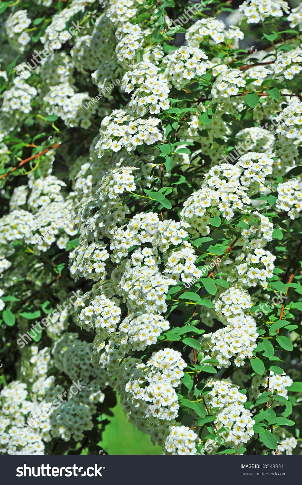 Spiraea Alpine Spring Flower White Flowering Stock Photo Royalty