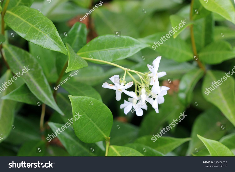 Trachelospermum Jasminioides Star Jasmine Evergreen Shrub Stock