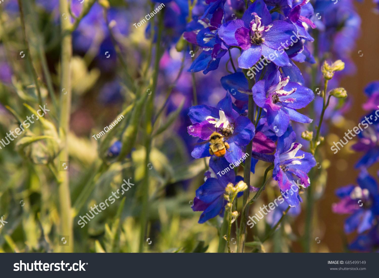 Blue Purple Flowers Tall Delphinium Plant Stock Photo Edit Now
