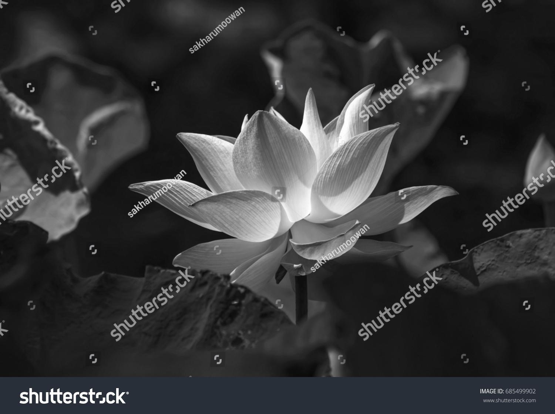 Lotus Flower Black White Picture Stock Photo Edit Now 685499902