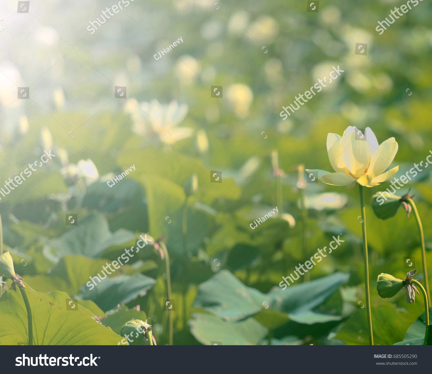 American Lotus Flower Stock Photo Royalty Free 685505290