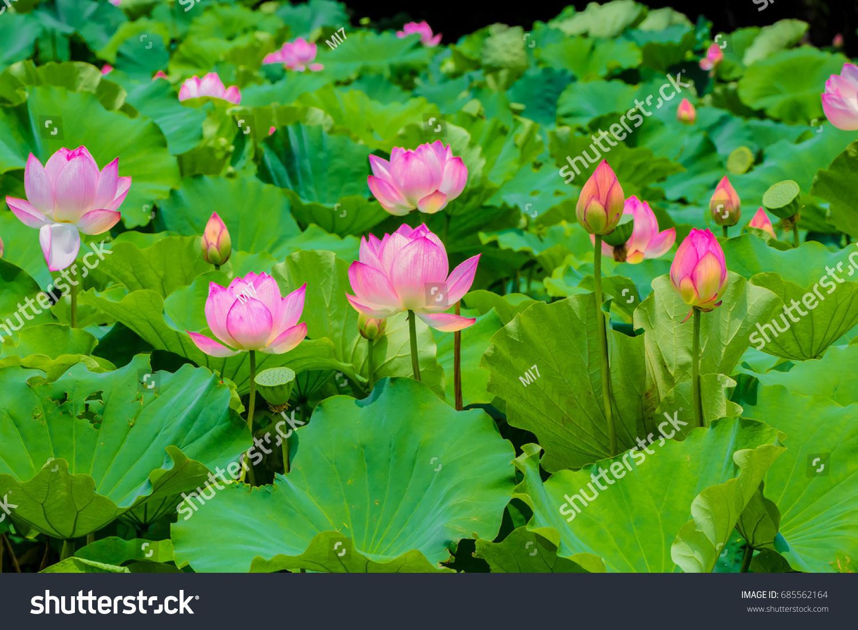 Lotus flowerbackground lotus leaf lotus bud stock photo 685562164 lotus flowerbackground lotus leaf lotus bud stock photo 685562164 shutterstock izmirmasajfo