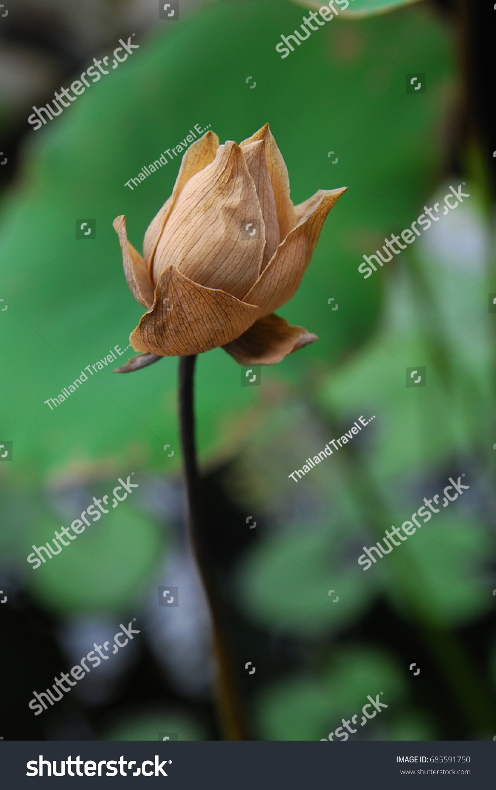 Lotus flower thailand dead still beautiful stock photo edit now lotus flower in thailand dead but still beautiful izmirmasajfo